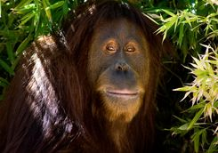 Close up of an orangutan