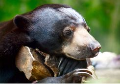 Close up of a sun bear
