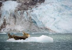Seals reclining on ice