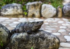 An iguana resting on a stone