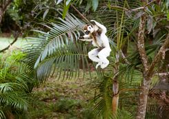 Sifaka lemur leaping