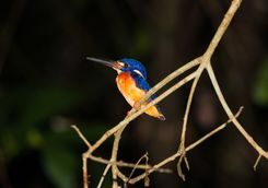 Blackbacked Kingfisher