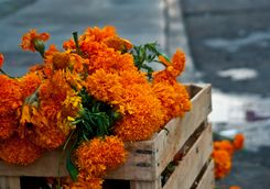 Crate of Marigolds