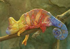 Chameleon on a tree