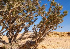 a frankincense tree