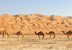 Camels lined up in the Empty Quarter