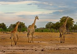 Giraffes in the South Luangwa