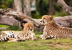 Lazy Cheetahs