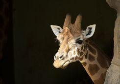 Giraffe at Toronga Zoo