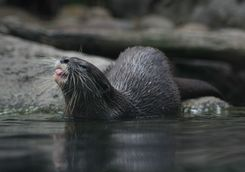Otter Toronga Zoo