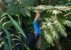 Southern Cassoway bird