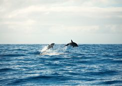 Dolphins at Cape Byron