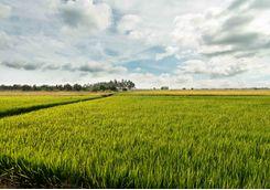 Rice field in Malaysia