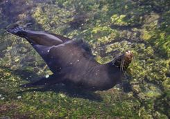 Sea lion, Fernandina Island