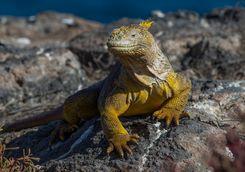 Land iguana, Galapagos