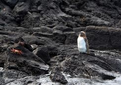 A penguin on lava rock