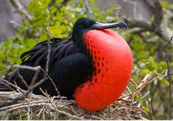 a red bellied fregate bird
