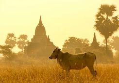 Ox in Bagan