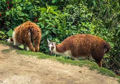 Llamas on the Inca Trail