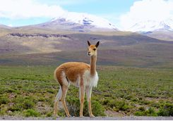 Vicuna on mountain pass