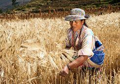 Peruvian woman harvesting