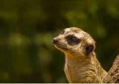 Meerkat up close