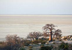 Baobabs in the desert
