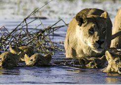 lions in the Okavango Delta