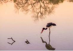 Saddlebilled stork, Botswana