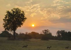 Wild dogs at sunset