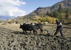 Bhutanese ploughing