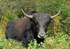 Wild yak in Bhutan