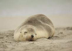 Sea lion sleeping