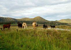 Livestock, Great Dividing Range