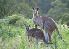 Kangaroos in the Blue Mountains