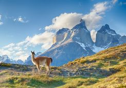 A Guanaco on a Mountain