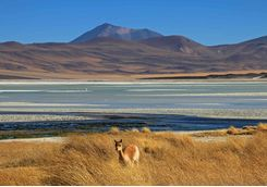 Vicuna at Salar Aguas Calientes
