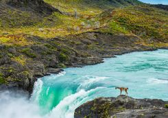 Guanaco by a Waterfall
