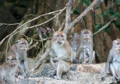 A monkey in Kao Sok's sanctuary