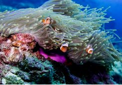 Clown fish off Phi Phi Islands