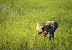 Paddy field worker