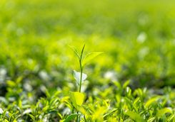 Green tea leaf plantation