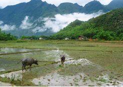 Mai Chau buffalos