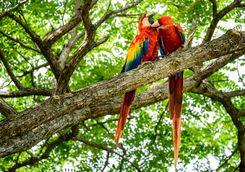 Wild Macaws
