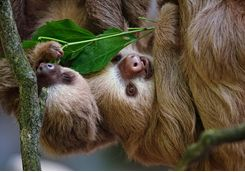 Two Toed Sloths