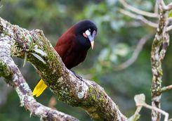 Oropendola Bird