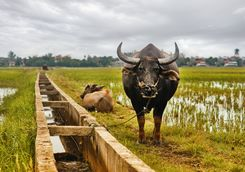 Water buffalo in Hoi An