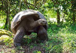 Giant Galapagos tortoise
