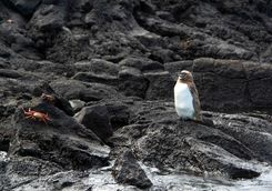 Penguin on Bartolome island