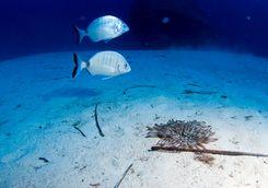 Maltese marine life